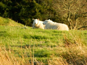 Sheep relaxing in the Highlands